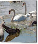 Swan Family Outting  Canvas Print