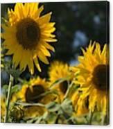Sweet Sunflowers Canvas Print