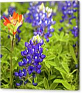 Texas Bluebonnets In Spring Meadow Canvas Print