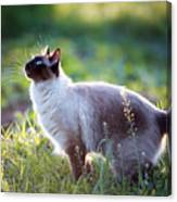 The Beautiful Brown Cat, Siamese, With Canvas Print