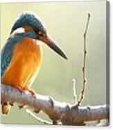 The Common Kingfisher Alcedo Canvas Print