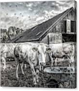 The Cows Came Home Black And White Canvas Print