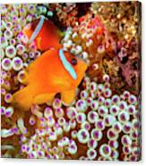 The Fiji Clownfish  Amphiprion Barberi Canvas Print