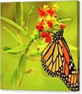 The Monarch Butterfly Canvas Print