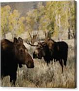 The Moose Rut Canvas Print