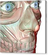 The Musculoskeleton Of The Face Canvas Print
