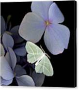 The Night Moth Canvas Print