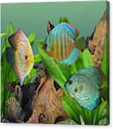 Three Discus Fish Canvas Print