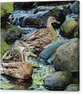Three Mallard Ducks Swimming In A Stone Filled Brook. Canvas Print