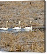 Three Trumpetor Swans 0629 Canvas Print