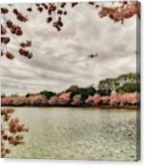 Tidal Basin Blossoms Canvas Print