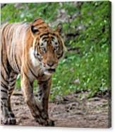 Tiger On A Stroll Canvas Print