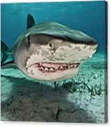 Tiger Sharks Galeocerdo Cuvier Are Canvas Print