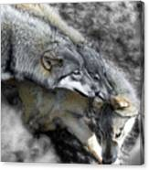 Timber Wolves Up Close Canvas Print
