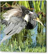 Tricolored Heron With Ruffled Feathers Canvas Print