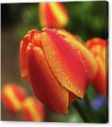 Tulips And Raindrops Canvas Print