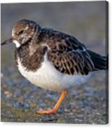 Turnstone Canvas Print