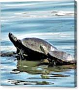 Turtles - Mother And Child Canvas Print