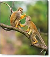 Two Common Squirrel Monkeys Saimiri Canvas Print