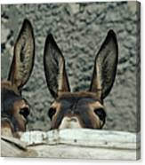 Two Donkeys Peering Over Fence, Close-up Canvas Print