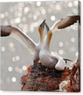 Two Gannets Bird Landing On The Nest Canvas Print