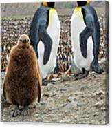 Two King Penguins And A Chick Canvas Print