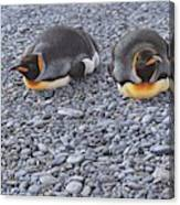 Two King Penguins By Alan M Hunt Canvas Print