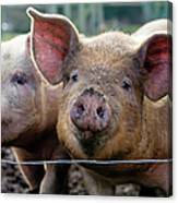 Two Pigs On  Farm Canvas Print