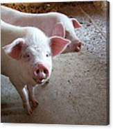Two Pigs Canvas Print