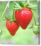 Two Ripe Red Strawberries On The Vine Canvas Print