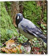 Under The Oak Tree. Hooded Crow Canvas Print