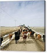 Usa, Nebraska, Great Plains, Herd Of Canvas Print