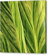 Variegated Shell Ginger Canvas Print