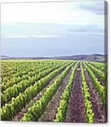 Vineyard Panorama Sunrise Canvas Print