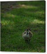 Waddling Ducklings Canvas Print