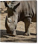 Walking Rhino With One Large Horn And One Small Horn Canvas Print