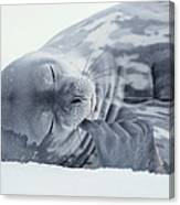 Weddell Seal Leptonychotes Weddellii Canvas Print