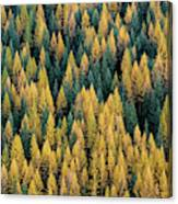 Western Larch Forest Canvas Print