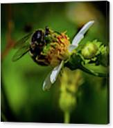 Western Sand Wasp Canvas Print