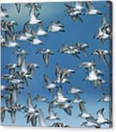 Western Sandpipers Calidris Mauri Canvas Print