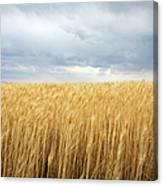 Wheat Field Under Dark Clouds Canvas Print