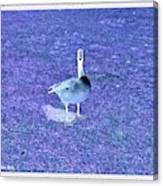 Where's Mine - The Blue Goose Canvas Print