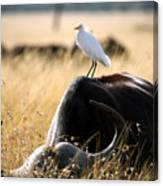 White Cattle Egret Hitching A Ride On Canvas Print
