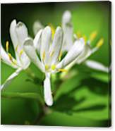 White Honeysuckle Flowers Canvas Print