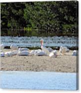 White Pelican Rest Canvas Print