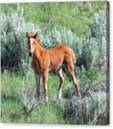 Wild Horse Foal Canvas Print