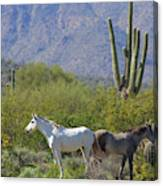 Wild Horses Tonto National Forest Canvas Print