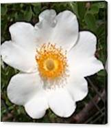 Wild Texas Rose, White Canvas Print