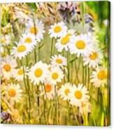 Wild White Daisies Canvas Print