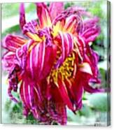 Wilted Dahlia. Canvas Print